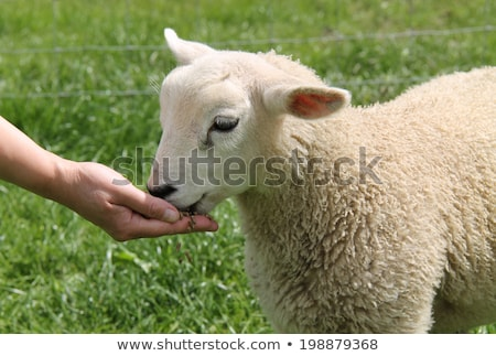 sheeps being fed stock photo © franky242