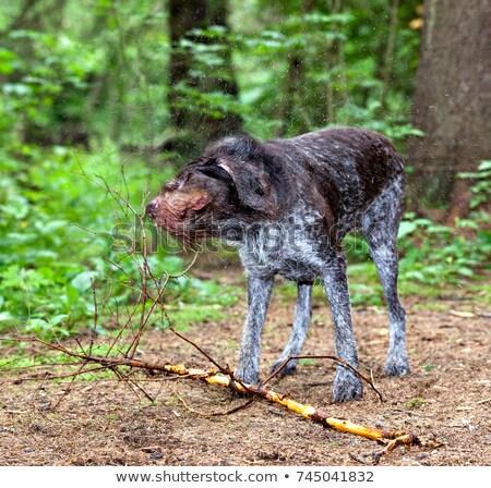 Kutya úszás tavacska víz vicces kutyakölyök Stock fotó © willeecole