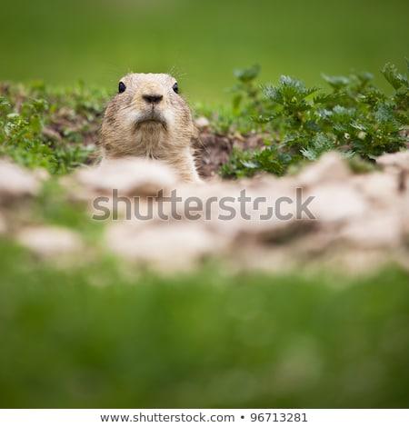 préri · kutya · fej · áll · föld · Amerika - stock fotó © lightpoet