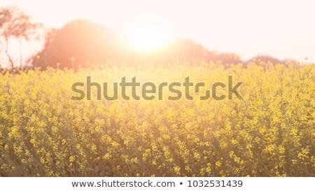Naplemente mögött mustár mező Banglades tavasz Stock fotó © bdspn
