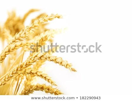 árpa zöld mező növény mezőgazdaság gazdaság Stock fotó © mobi68