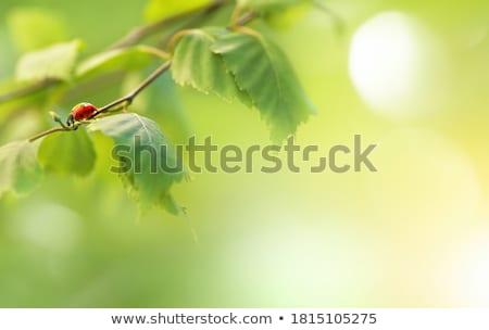 joaninha · folha · verde · primavera · verão · planta - foto stock © anterovium