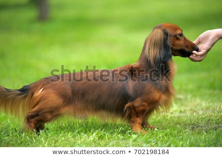 typical dachshund long haired dog stock photo © capturelight