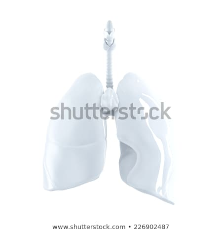 3d rendered of the human lungs. Isolated. Contains clipping path Stock photo © Kirill_M