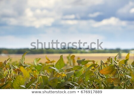 Harvest ready soy bean field Stock photo © stevanovicigor