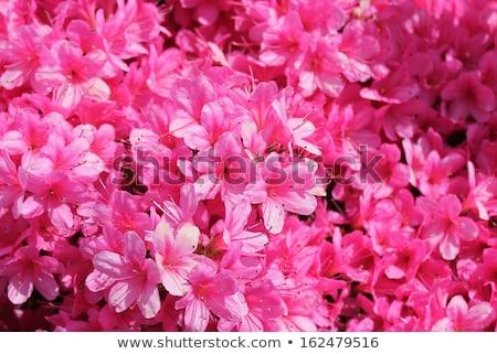 pelargonium geranium group bright cerise pink flowers stock photo © ozaiachin