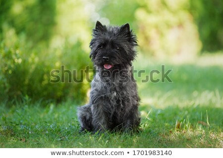 purebred cairn terrier stock photo © cynoclub