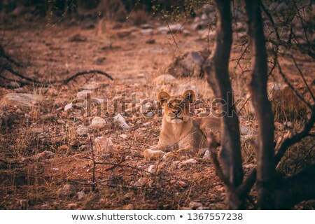 Lioness starring in the Kruger National Park. Stock photo © simoneeman