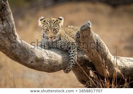 Fiatal leopárd néz ki park Dél-Afrika Stock fotó © simoneeman