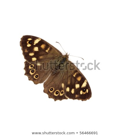 Speckled wood butterfly (Pararge aegeria) Stock photo © Rosemarie_Kappler
