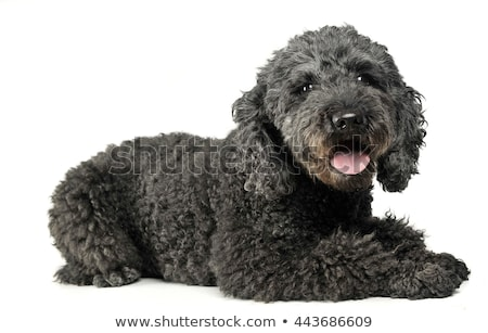 Stock photo: Puppy pumi feeling good in a white photo studio