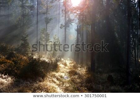 Morgen Licht Fichte Wald schwarz weiß Bild Stock foto © taviphoto