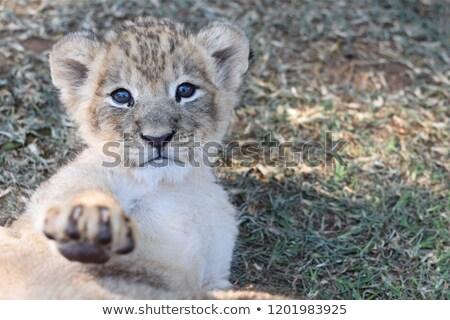 Oroszlán medvebocs kamera park Dél-Afrika természet Stock fotó © simoneeman