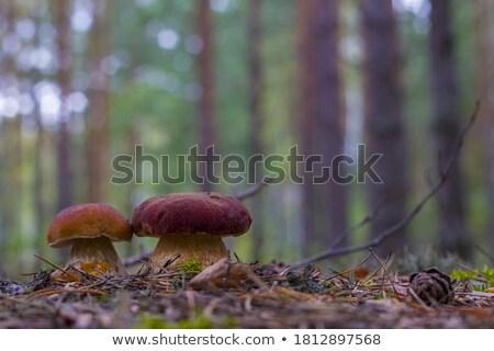 Dwa biały grzyb drewna świeże Zdjęcia stock © romvo