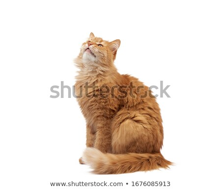 orange cat sitting and looking up stock photo © feedough