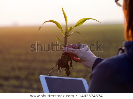 Farmer examining young green corn maize crop plant Stock photo © stevanovicigor