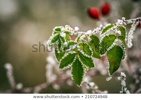 Rózsa csípő fagyott levelek részletek természet Stock fotó © Juhku