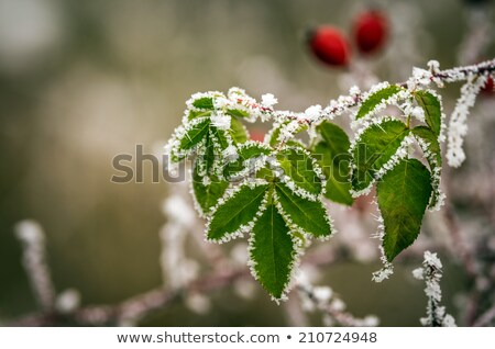 Aumentó cadera congelado hojas detalles naturaleza Foto stock © Juhku