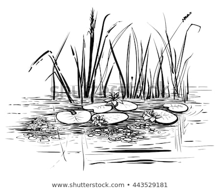 Reeds isolated. Pond plant on white background. Vector illustrat Stock photo © MaryValery