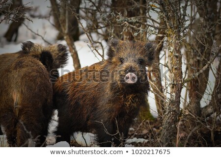 wild boar youngsters in winter Stock photo © taviphoto
