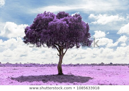 purple acacia tree in savanna with infrared effect Stock photo © dolgachov