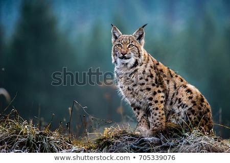 eurasian lynx lynx lynx stock photo © lightpoet