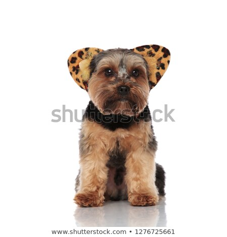 cute yorkshire terrier wearing animal print headband stock photo © feedough