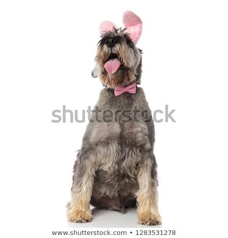 gentleman schnauzer wearing easter bunny headband looks up Stock photo © feedough