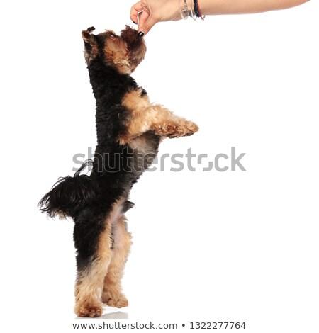 Zijaanzicht hand yorkshire terriër Maakt een reservekopie benen Stockfoto © feedough
