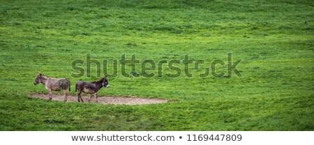 Two donkeys definitely not talking to each other Stock photo © lightpoet