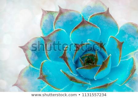 Grünen Aloe Blatt Textur Wasser Natur Stock foto © galitskaya