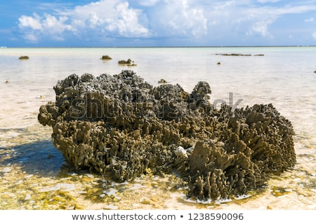 hard stony coral on beach in french polynesia Stock photo © dolgachov