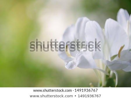 Ginger lily Stock photo © elwynn