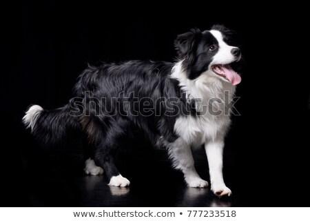 Juhászkutya sötét stúdió fekete gyönyörű barát Stock fotó © vauvau