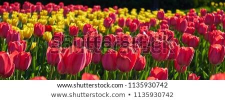 красный розовый тюльпаны привлечение природы лет Сток-фото © compuinfoto