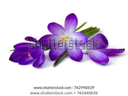 Primavera violeta flores macro tiro flor Foto stock © vapi