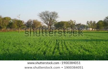 три ушки пшеницы небе продовольствие солнце Сток-фото © Paha_L