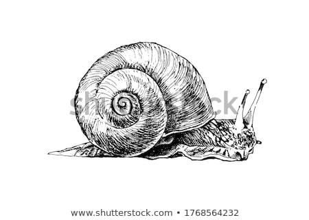 Burgundy snail on a white background Stock photo © Zerbor
