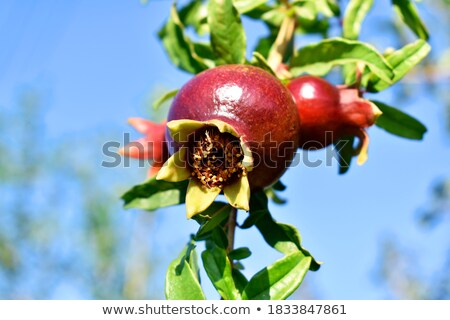 Unripe pomegranate on a branch Stock photo © cherezoff