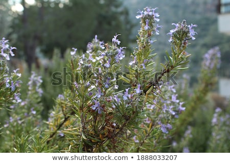 salvia plant background Stock photo © jonnysek