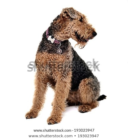 Airdale Terrier sitting n a white studio looking right Stock photo © vauvau
