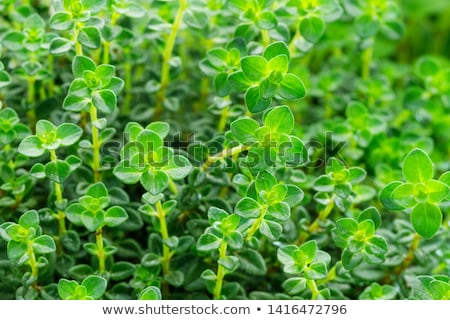 thyme Stock photo © yelenayemchuk