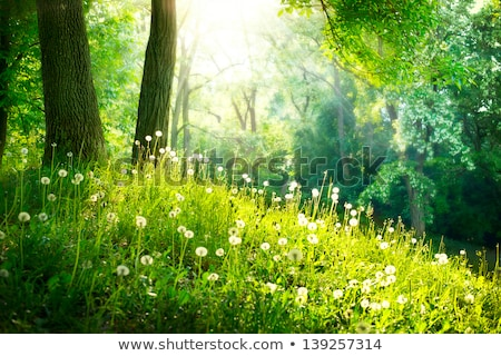dandelions in forest stock photo © imaster