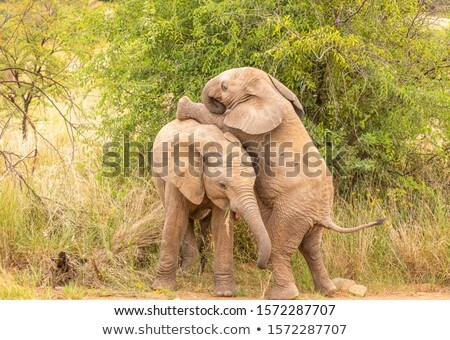 Stock photo: Elephant (Loxodonta africana)