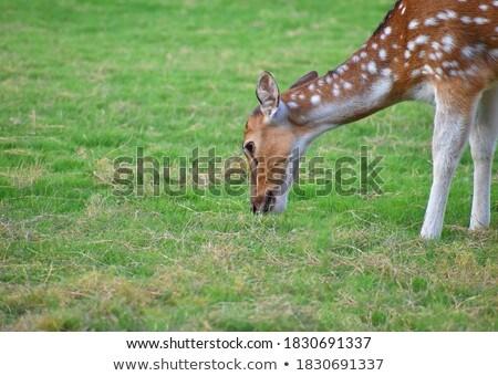 Fallow deer Stock photo © ivonnewierink