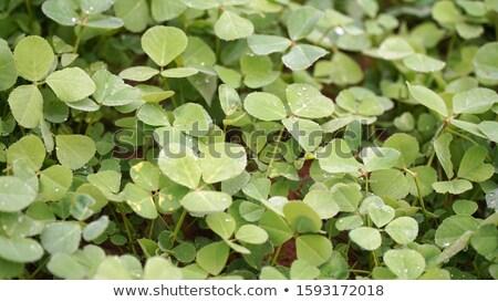 Fenugreek Trigonella foenum-graecum tops, paths Stock photo © maxsol7