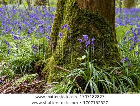 Bluebell (Hyacinthoides non-scripta)  Stock photo © chris2766