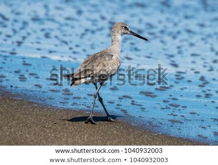 フロリダ ビーチ 浅い 水 自然 動物 ストックフォト © brianguest
