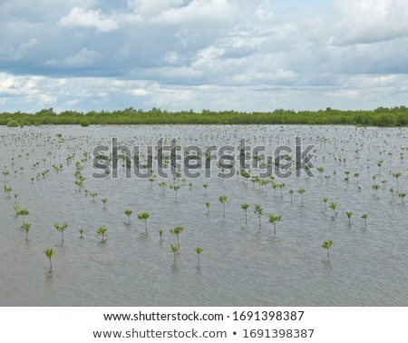 mangrove reforestation Stock photo © smithore