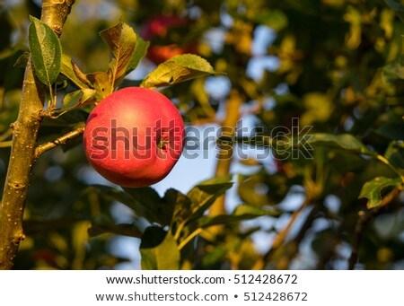 piros · almák · érett · szőlőszüret · gyümölcsös · tele - stock fotó © klinker